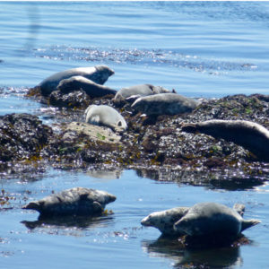 bardsey collage - seals
